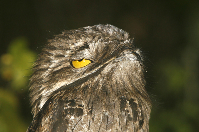 great-potoo-web.jpg